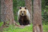 Brown bear walking through forest, Taiga Forest, Finland