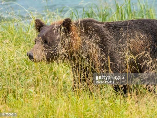 Brown Bear Walking Through the Tall Grass