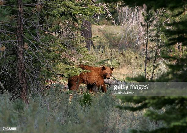 A brown bear walks through a meadow after descending a tree near the Angora fire line June 27 2007 in South Lake Tahoe California An estimated 1900...