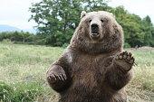 Brown Bear Waves Hello!