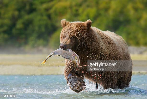 Brown Bear with Pink Salmon