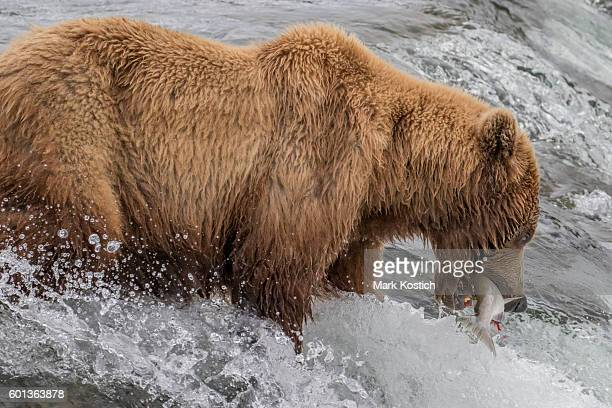 Brown Bear With Salmon in Mouth at Brooks Falls, Alaska