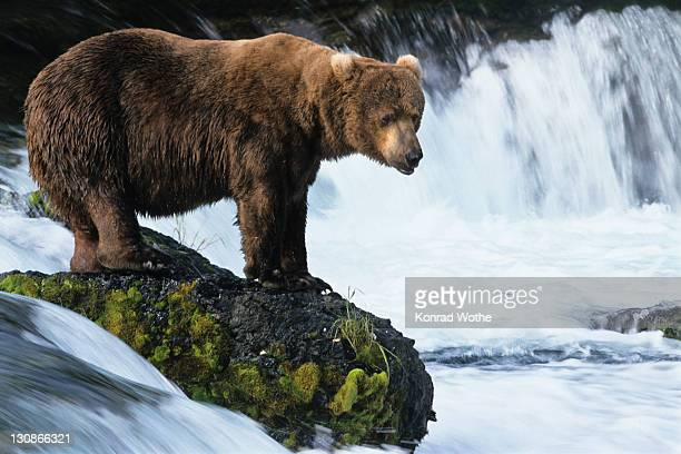 Brown Bear (Ursus arctos) with salmon in the Brooks River, Katmai National Park, Alaska, USA