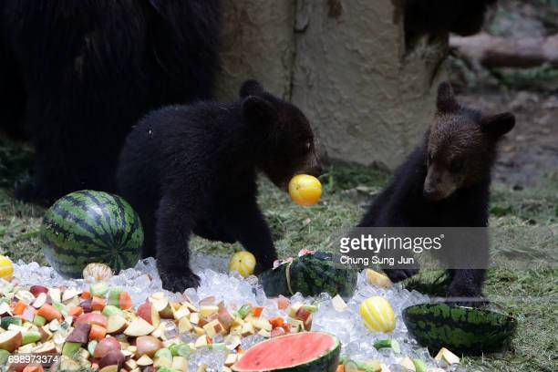 Brown bears enjoy special icy fruits given by zoo keepers during the summer season to get by the heat at the Everland Amusement Park on June 21 2017...