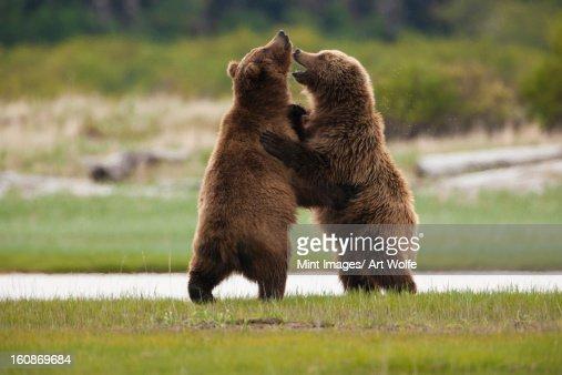 Brown bears, Katmai National Park, Alaska, USA : Stock Photo