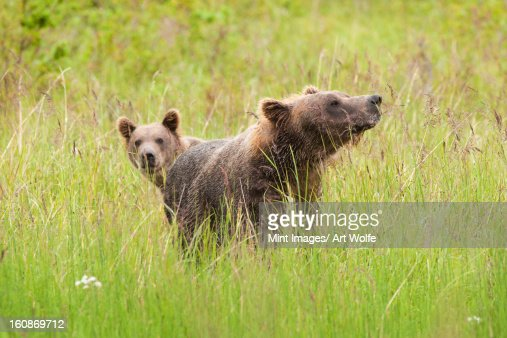 Brown bears, Katmai National Park, Alaska, USA : Stock Photo