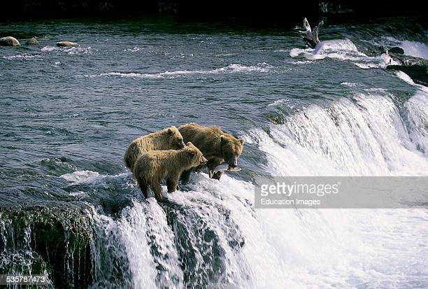 Brown Bears Ursus arctos horribilis fishing for salmon at the Brooks River Falls The strategically favorable point where the cubs can be trained in...