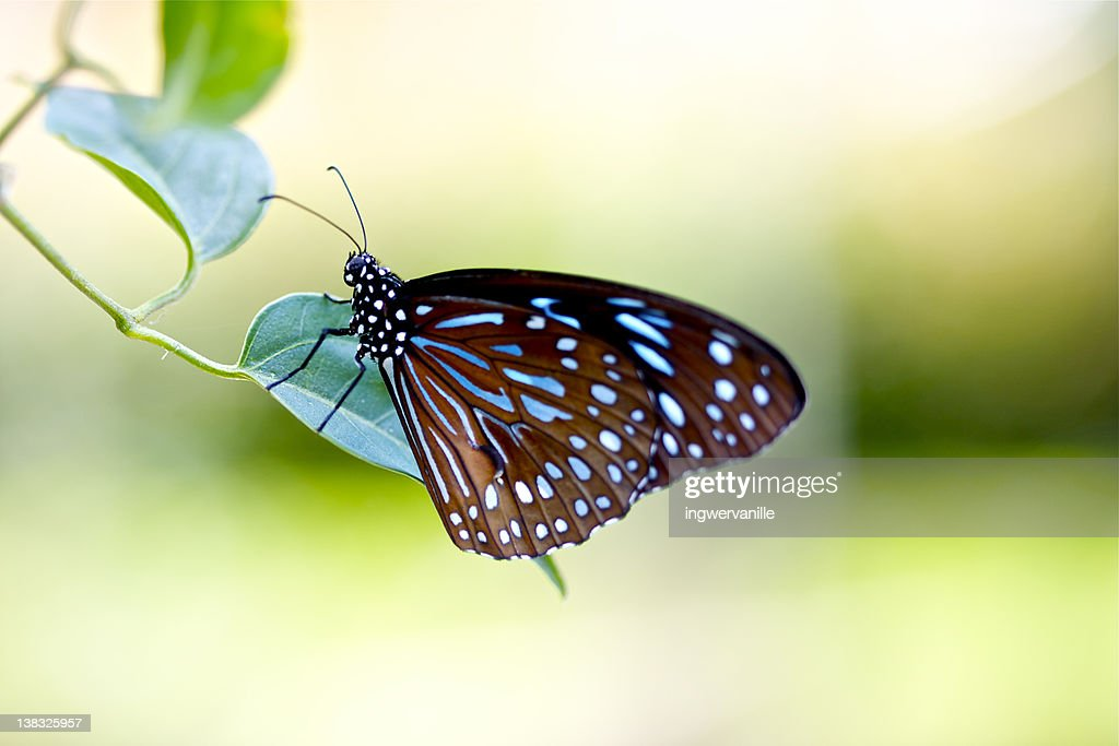 Brown blue butterfly : Stock Photo