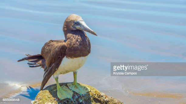 A brown booby (Sula leucogaster) at the beach, Costa Rica