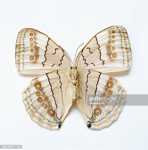 Brown Butterfly, overhead view