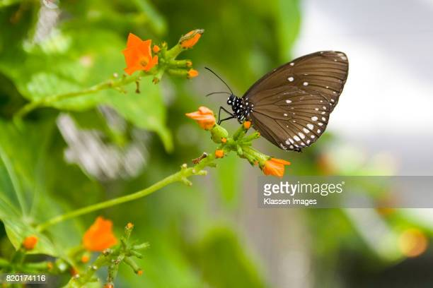 Brown butterfly with white spots
