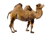 camel in front of a white background.