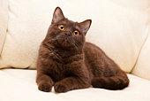 Brown cat British Shorthair