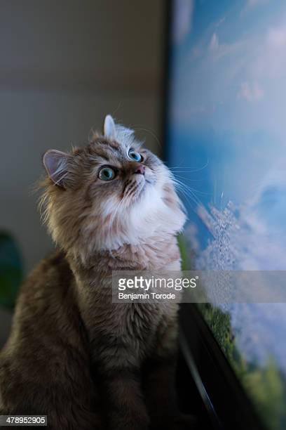 Brown cat watching images on television