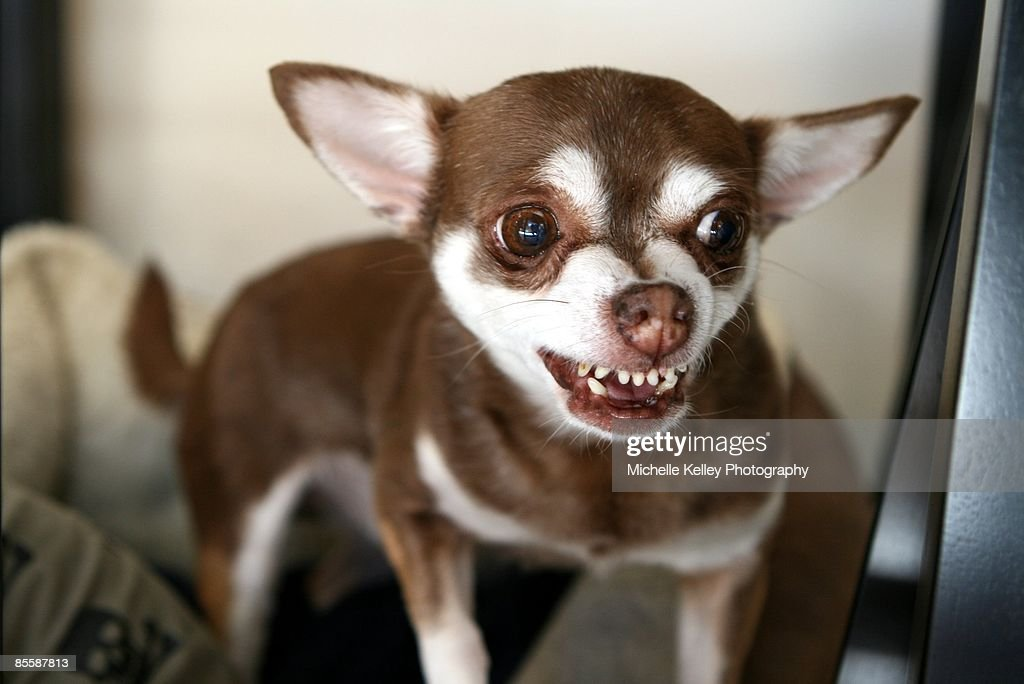 Brown Chihuahua snarling with teeth showing : Stock Photo