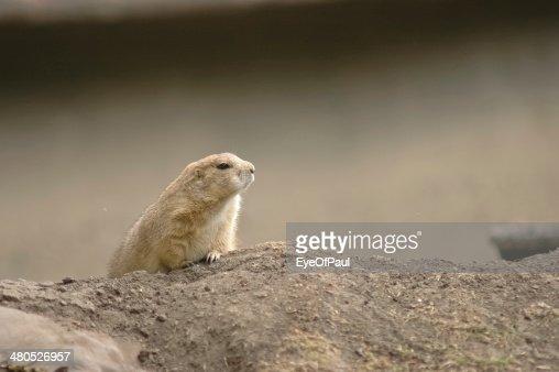 brown chipmunk : Stock Photo