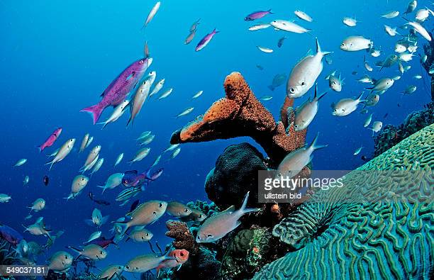 Brown Chromis Chromis multilineata Netherlands Antilles Bonaire Caribbean Sea