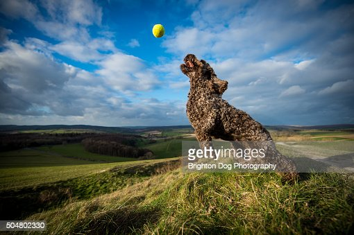A brown Cockapoo dog jumps for a ball : Stock Photo