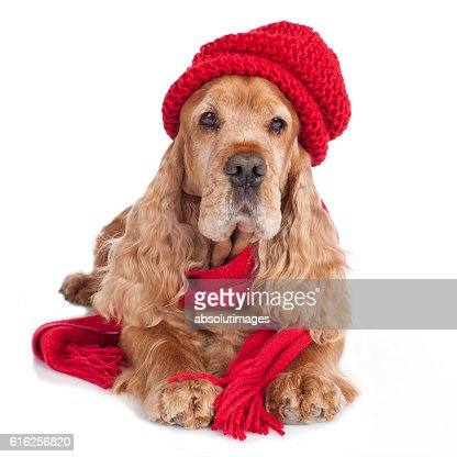 Brown cockerspaniel with wool cap : Stock Photo