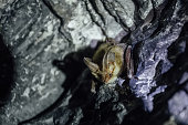 Brown common long-eared bat (Plecotus auritus) in chalky cave.