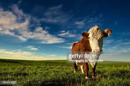 Brown cow : Stock Photo