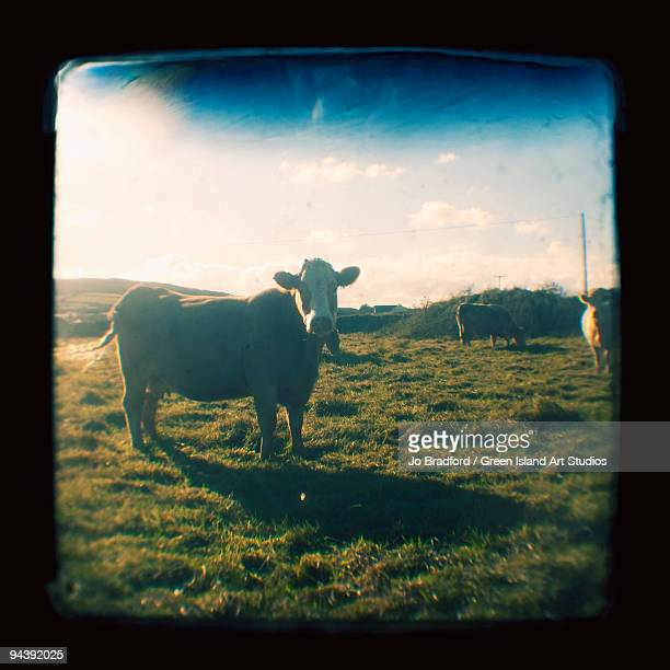Brown Cow with sun rays
