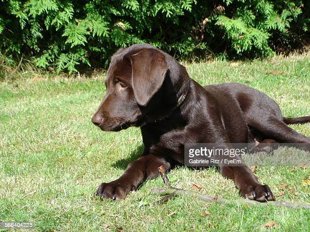 Brown Dog Lying Down On Grassy Field
