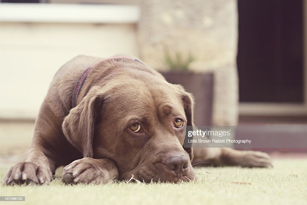 Brown dog lying on grass : Stock Photo