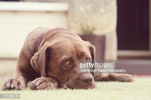Brown dog lying on grass : Stock Photo