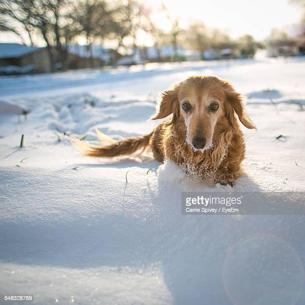 Brown Dog Resting In Snow