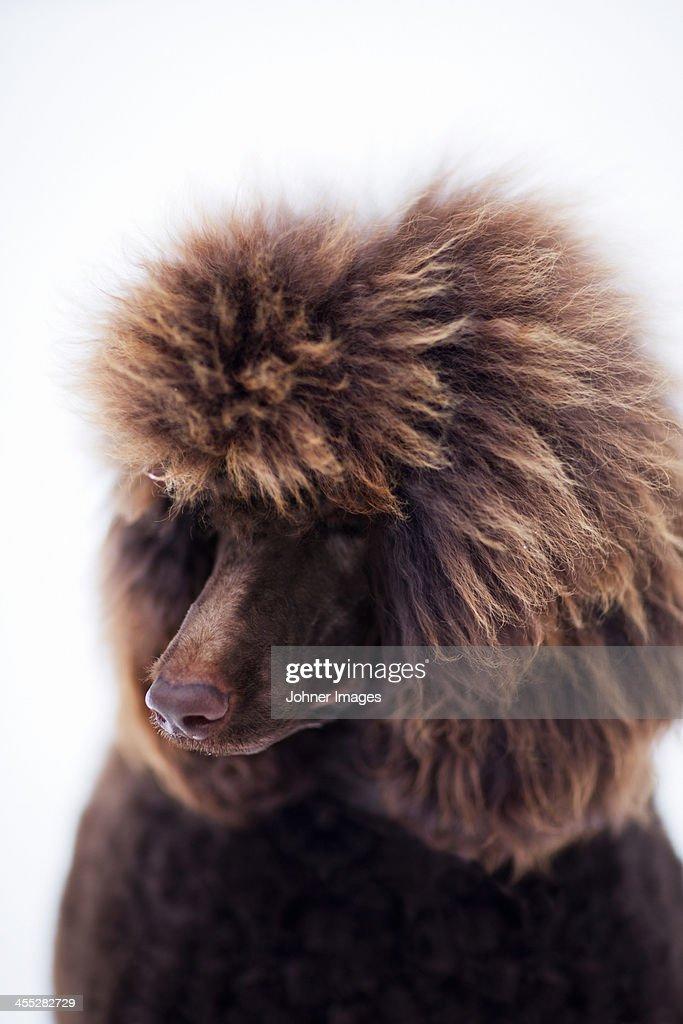 Brown dog, studio shot : Stock Photo