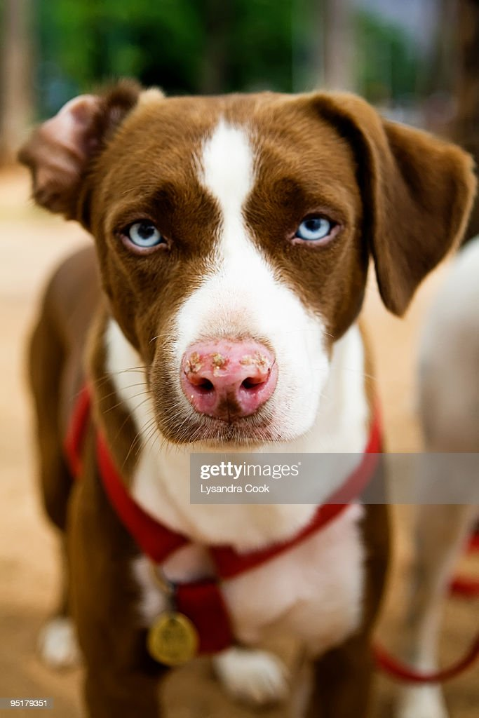Brown And White Dog Brown Dog With ...