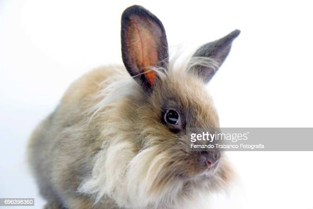 brown dwarf rabbit  (Oryctolagus cuniculus domesticus)