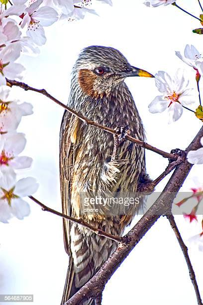 Brown Eared Bulbul takes Cherry Blossom