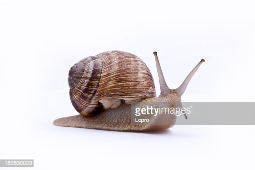 A brown garden snail on a white background