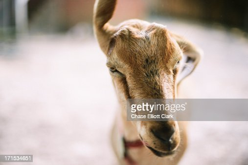 Brown goat shaking his head