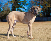 Great Dane purebred male brown in color on a field