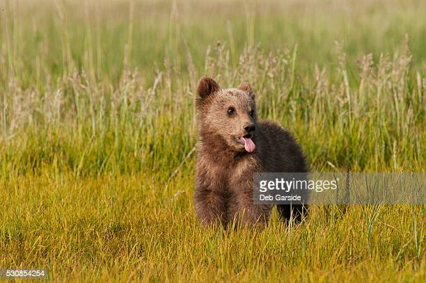 A brown grizzly bear cub (ursus arctos horribilis), alaska, united states of america