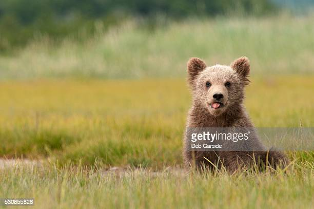 A brown grizzly bear cub (ursus arctos horribilis) sticking out it's tongue, alaska, united states of america