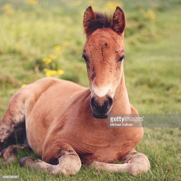 Brown haired foal
