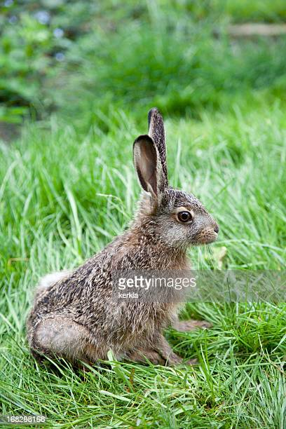 brown hare baby in nature