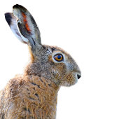 Portrait of a brown hare isolated on white.