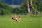 Photo of hare running in a field