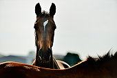 Brown Horse Back Lit