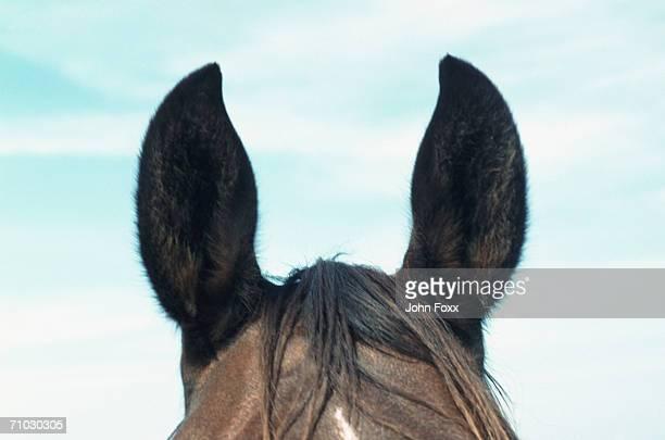 Brown horse, focus on ears