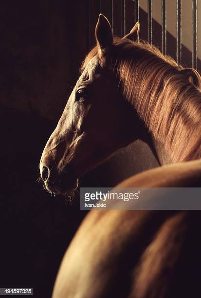 Brown horse foto estable