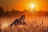 Brown horse galloping in the orange sunset