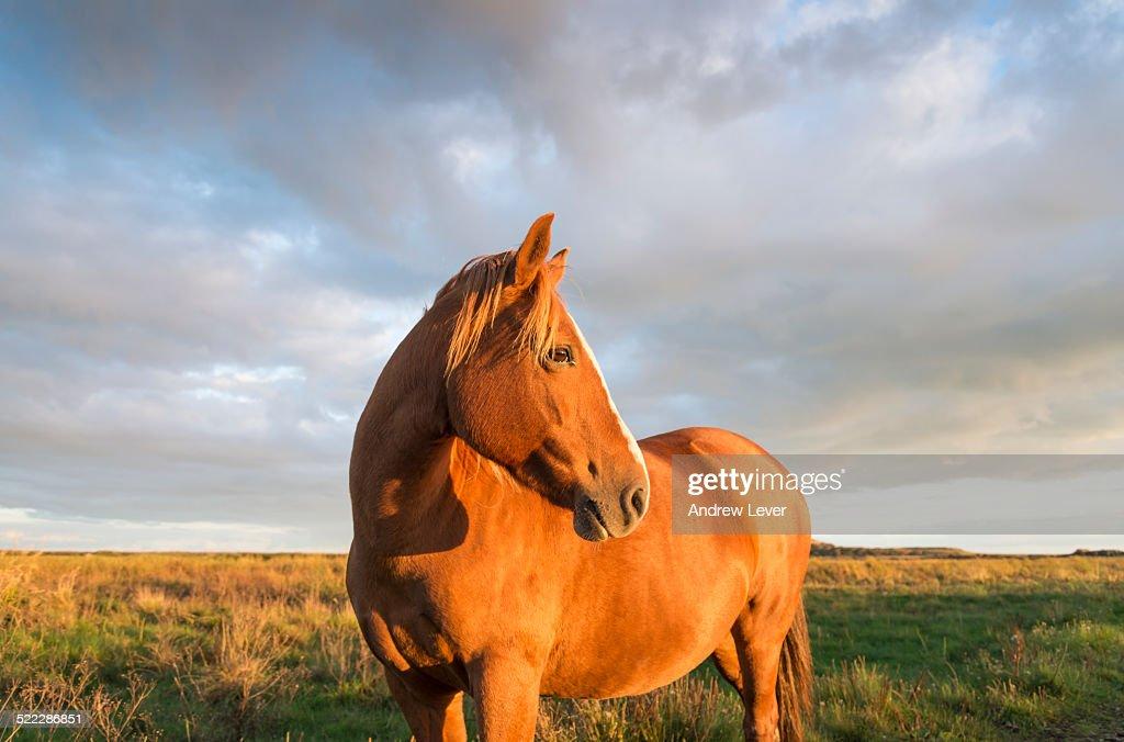 A brown horse