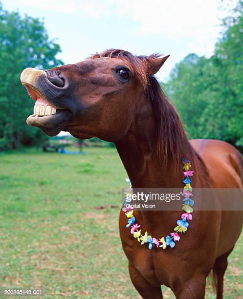 Brown horse wearing necklace, baring teeth, close-up