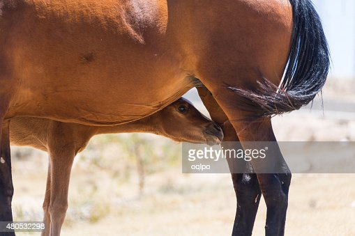 brown horse with a foal : Stock Photo